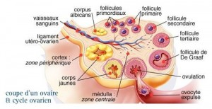 Cycle ovarien