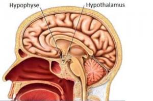 Hypothalamus et hypophyse