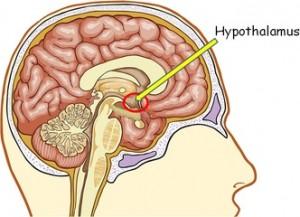 L'hypothalamus