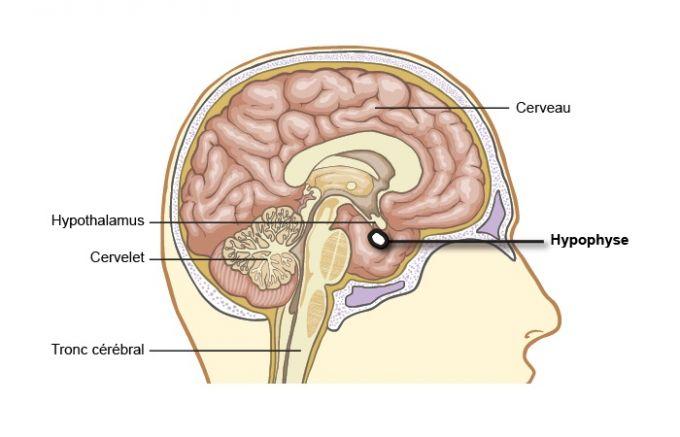 L\'hypophyse : siège de bouleversements considérables à la ménopause ...