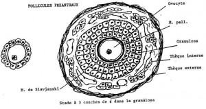 Cellule folliculaire