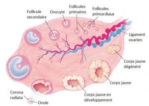 Fonction ovarienne